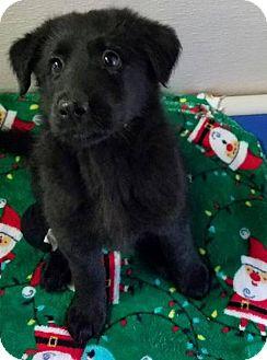 Labrador Retriever Mix Puppy for adoption in Newport, Kentucky - Laramie