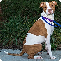 American Staffordshire Terrier Mix Dog for adoption in Livonia, Michigan - Rosie