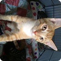 Domestic Shorthair Cat for adoption in O'Fallon, Missouri - Will