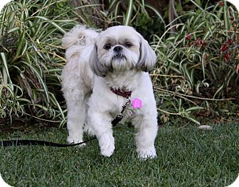 Shih Tzu Mix Dog for adoption in Newport Beach, California - MCDUFF