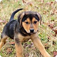 Adopt A Pet :: PUPPY ASHER - Brattleboro, VT