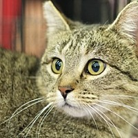 Adopt A Pet :: Miss Petite - Great Falls, MT