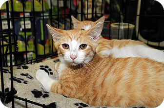 Domestic Shorthair Cat for adoption in Farmingdale, New York - Flannigan
