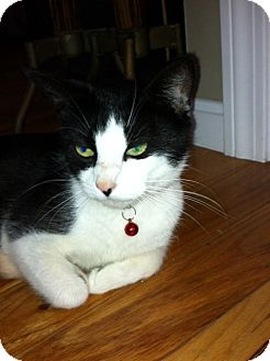Domestic Shorthair Cat for adoption in Riverside, Rhode Island - Kimberly