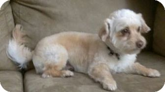 Terrier (Unknown Type, Small)/Poodle (Miniature) Mix Dog for adoption in Mission Viejo, California - THEO