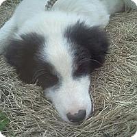 Adopt A Pet :: Shyloh - Albany, NY
