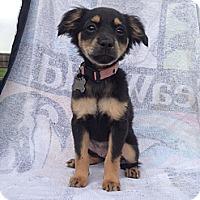 Adopt A Pet :: Rainbow - Vacaville, CA