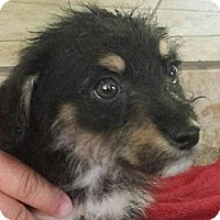 Adopt A Pet :: Griffon - Phoenix, AZ