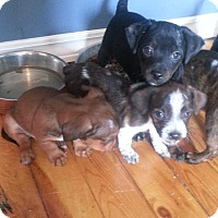 Adopt A Pet :: Dachshund pups! ADOPTED!* - Chicago, IL