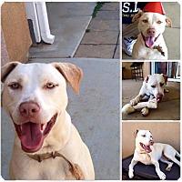 Adopt A Pet :: Lina - Los Angeles, CA