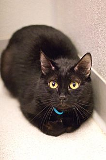 Domestic Shorthair Cat for adoption in Grayslake, Illinois - Mystikal