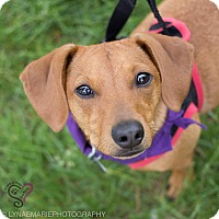 Adopt A Pet :: Daisy - Grand Rapids, MI