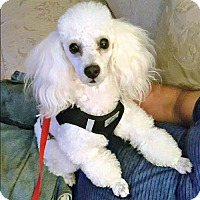 Adopt A Pet :: Duke - Whiting, NJ