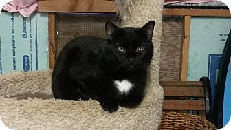 Domestic Shorthair Cat for adoption in Trevose, Pennsylvania - Solotaire