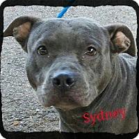 Adopt A Pet :: Sydney - Old Saybrook, CT