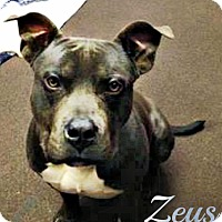 American Pit Bull Terrier Dog for adoption in Roanoke, Virginia - Zeus