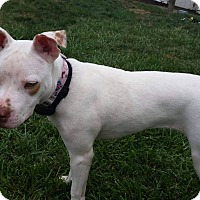 Pit Bull Terrier Mix Dog for adoption in Dayton, Ohio - Hubble