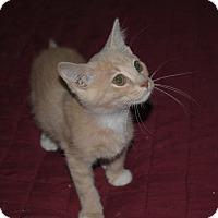 Domestic Shorthair Kitten for adoption in Middletown, Ohio - Piscatella