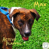 Shepherd (Unknown Type) Mix Dog for adoption in Washburn, Missouri - Max