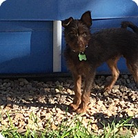 Adopt A Pet :: Hershey formerly Simipour - Las Vegas, NV