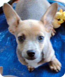 Basenji/Dachshund Mix Puppy for adoption in Buena Park, California - Petunia