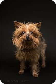 Yorkie, Yorkshire Terrier Mix Dog for adoption in Dublin, California - Winston