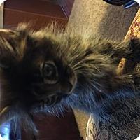 Adopt A Pet :: Tamara - Parma, OH