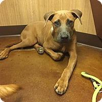 Adopt A Pet :: Conrad - Las Vegas, NV
