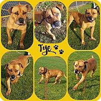 Adopt A Pet :: Tye - Joliet, IL