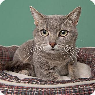 Domestic Shorthair Cat for adoption in Wilmington, Delaware - Khloe