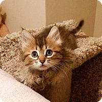 Domestic Mediumhair Cat for adoption in Acworth, Georgia - Hickory (Autumns Pumpkin Patch)