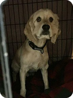 Cocker Spaniel Dog for adoption in Freeport, New York - Bailey Boy