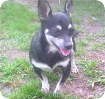 Miniature Pinscher Mix Dog for adoption in Summerville, South Carolina - FOUND