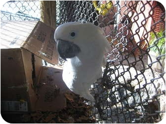 Cockatoo for adoption in Melbourne Beach, Florida - Sassy