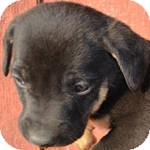 Boxer/Labrador Retriever Mix Puppy for adoption in East Hartford, Connecticut - Shadow ADOPTION PENDING