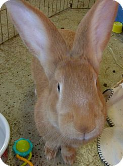 Flemish Giant for adoption in Foster, Rhode Island - Gerri