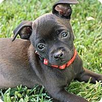 Adopt A Pet :: Little Chief - La Habra Heights, CA