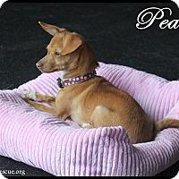 Adopt A Pet :: Peaches - Rockwall, TX