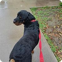Adopt A Pet :: Thor - Laurel, MT