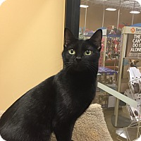 Domestic Shorthair Cat for adoption in Irwin, Pennsylvania - Nipper