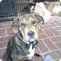 Adopt A Pet :: Bandit - El Paso, TX