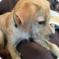 Adopt A Pet :: Blondie Grace - San Marcos, CA