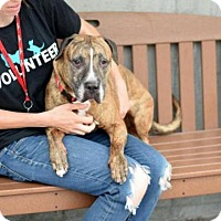 Pit Bull Terrier Mix Dog for adoption in Brooklyn, New York - RAMBO