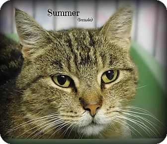Domestic Shorthair Cat for adoption in Glen Mills, Pennsylvania - Summer