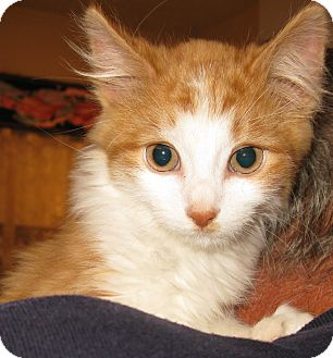 Domestic Longhair Kitten for adoption in Bedford, Virginia - Bamboo