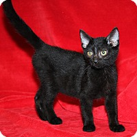 Domestic Shorthair Cat for adoption in Marietta, Ohio - Cassidy (Spayed)
