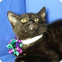 Domestic Shorthair Kitten for adoption in Winston-Salem, North Carolina - Devin