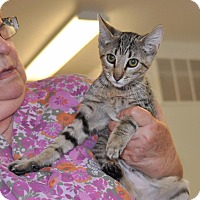 Domestic Shorthair Kitten for adoption in Sunrise Beach, Missouri - Naomi