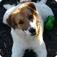 Adopt A Pet :: Sweetie - McKinney, TX