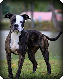 Boxer/Pit Bull Terrier Mix Dog for adoption in Madionsville, Kentucky - Lucy